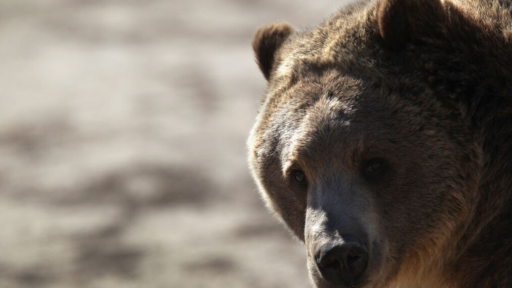 Montana FWP officials euthanized a pair of grizzly bears after they several depredations on llamas, sheep, goat and chickens over time near Whitefish. (Photo by John Moore/Getty Images)