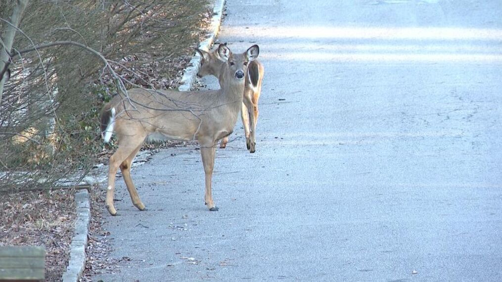 """They are absolutely everywhere,"""" Worthington Police dealing with deer  dangers   WSYX"""