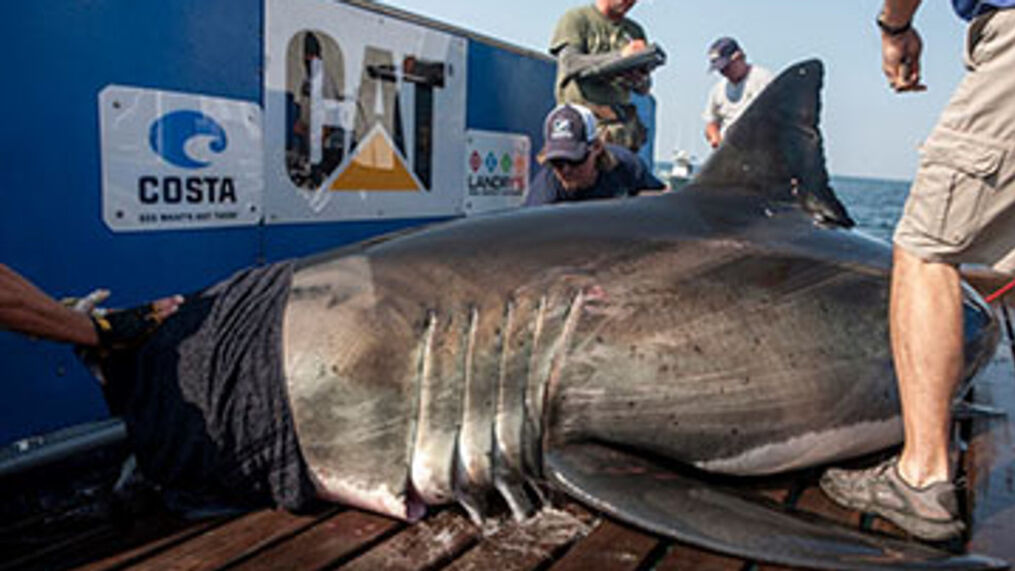 Katharine A Massive Great White Shark Reappears Off Coast Wcti