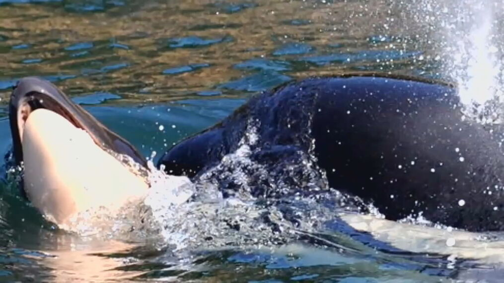 Restaurants Cutting Chinook From The Menu To Help Save Orcas Komo