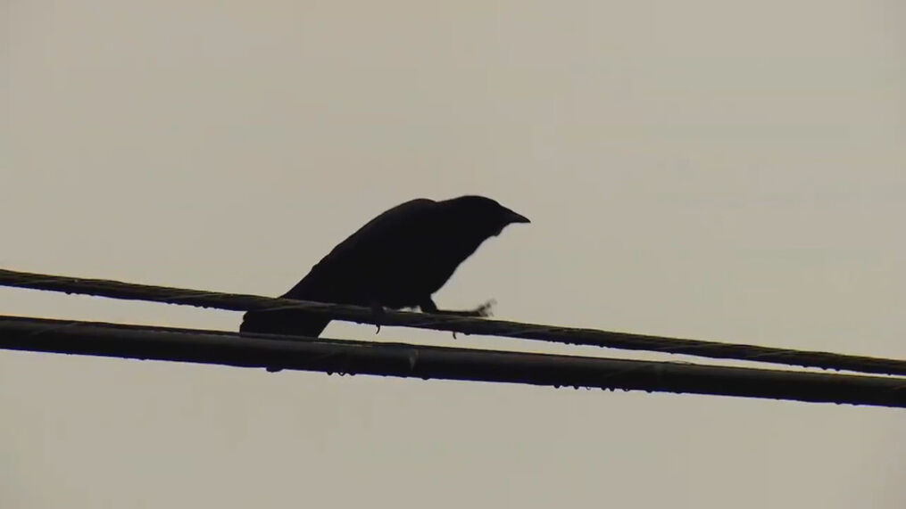 Police believe one person has shot and killed at least a dozen crows in the city. (KOMO)