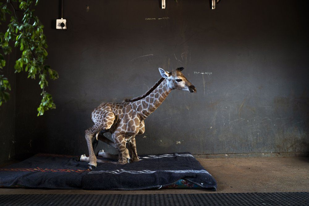 <p>Jazz, a nine-day-old orphan giraffe, sits at the Rhino orphanage in the Limpopo province of South Africa, Friday Nov. 22 2019. Jazz, who was brought in after being abandoned by her mother at birth, is being taken care of and fed at the orphanage some three hours North of Johannesburg, and has been befriended by Hunter and its sibling Duke. (AP Photo/Jerome Delay)</p>