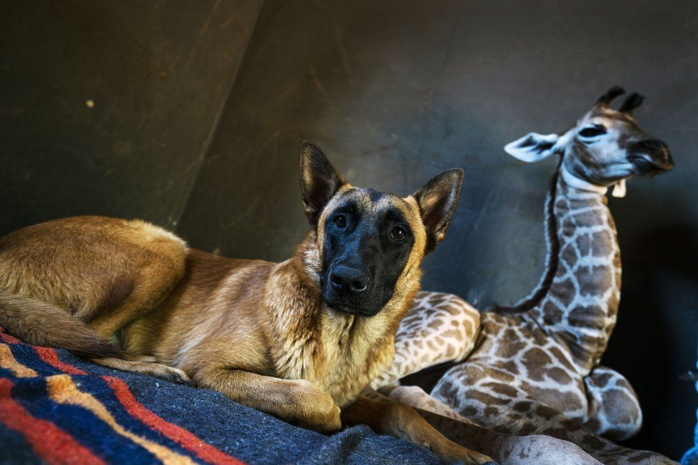 <p>Hunter, a young Belgian Malinois, keeps an eye on Jazz, a nine-day-old giraffe, at the Rhino orphanage in the Limpopo province of South Africa, Friday Nov. 22 2019. Jazz, who was brought in after being abandoned by her mother at birth, is being taken care of and fed at the orphanage some three hours North of Johannesburg, and has been befriended by Hunter and its sibling Duke. (AP Photo/Jerome Delay)</p>