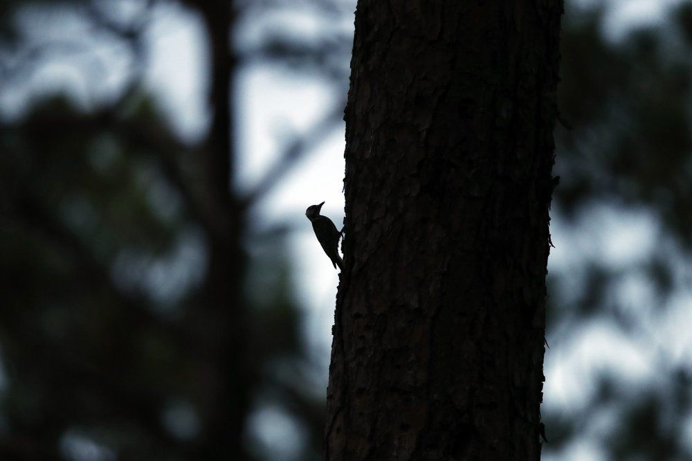 A red-cockaded woodpecker prepares to enter its roosting cavity for the night in a long leaf pine forest in Southern Pines, N.C. The woodpecker was one of the first birds protected under the Endangered Species Act of 1973. (AP Photo/Robert F. Bukaty)