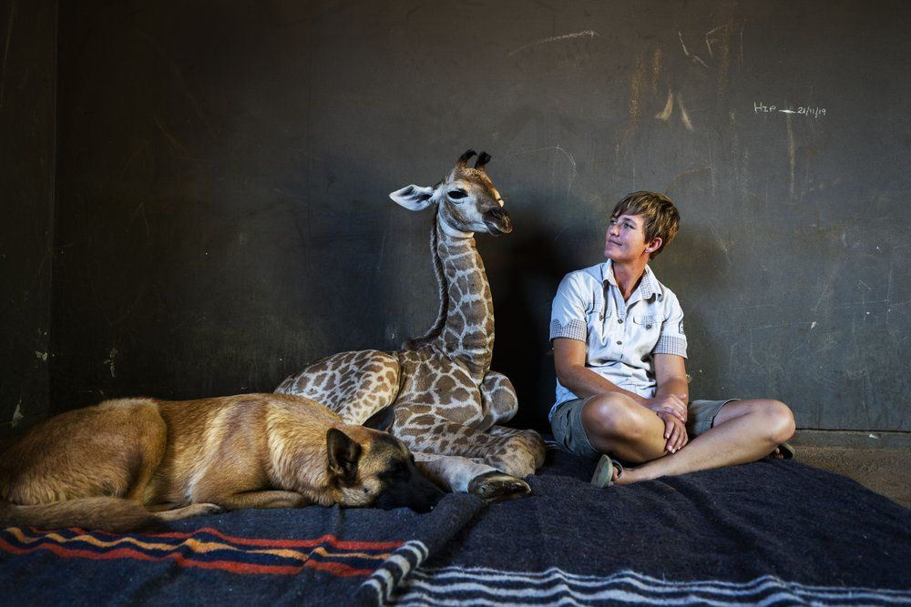 <p>Hunter, a young Belgian Malinois, keeps an eye on Jazz, a nine-day-old giraffe, as orphanage worker Janie Van Heerden looks on at the Rhino orphanage in the Limpopo province of South Africa Friday Nov. 22 2019. Jazz who was brought in after being abandoned by her mother at birth, is being taken care of and fed at the orphanage some three hours North of Johannesburg by Janie Van Heerden, seen right, and has been befriended by Hunter and its sibling Duke. (AP Photo/Jerome Delay)</p>