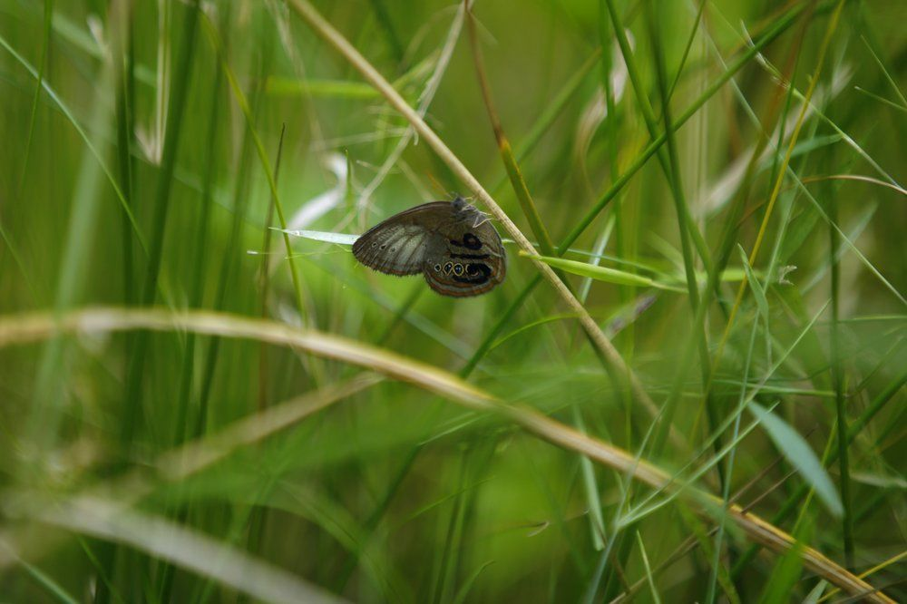 A St. Francis' satyr butterfly rests on sedge in a swamp at Fort Bragg in North Carolina. (AP Photo/Robert F. Bukaty)