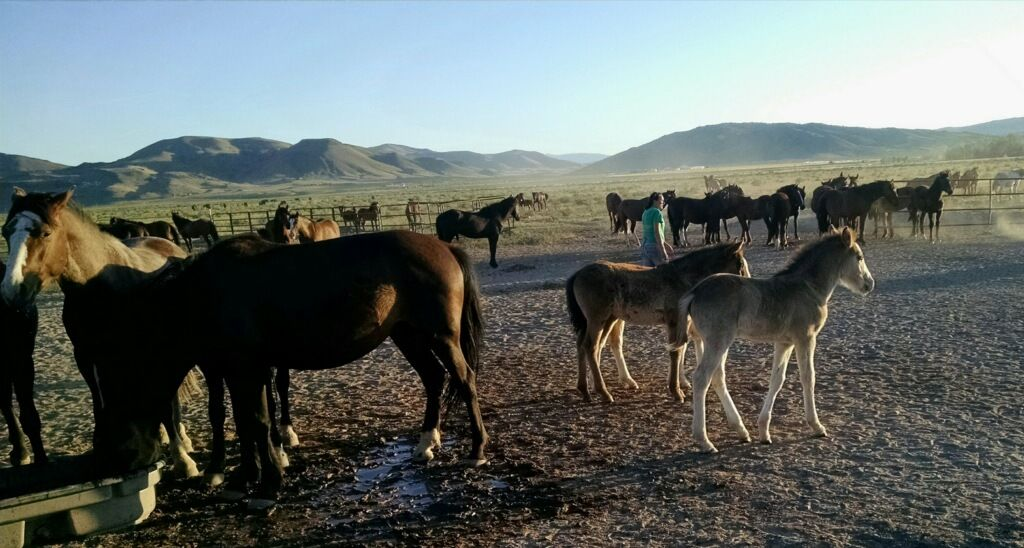 A group of horses that were part of the round-up in Palomino Valley. (Photo via Maureen Daane)