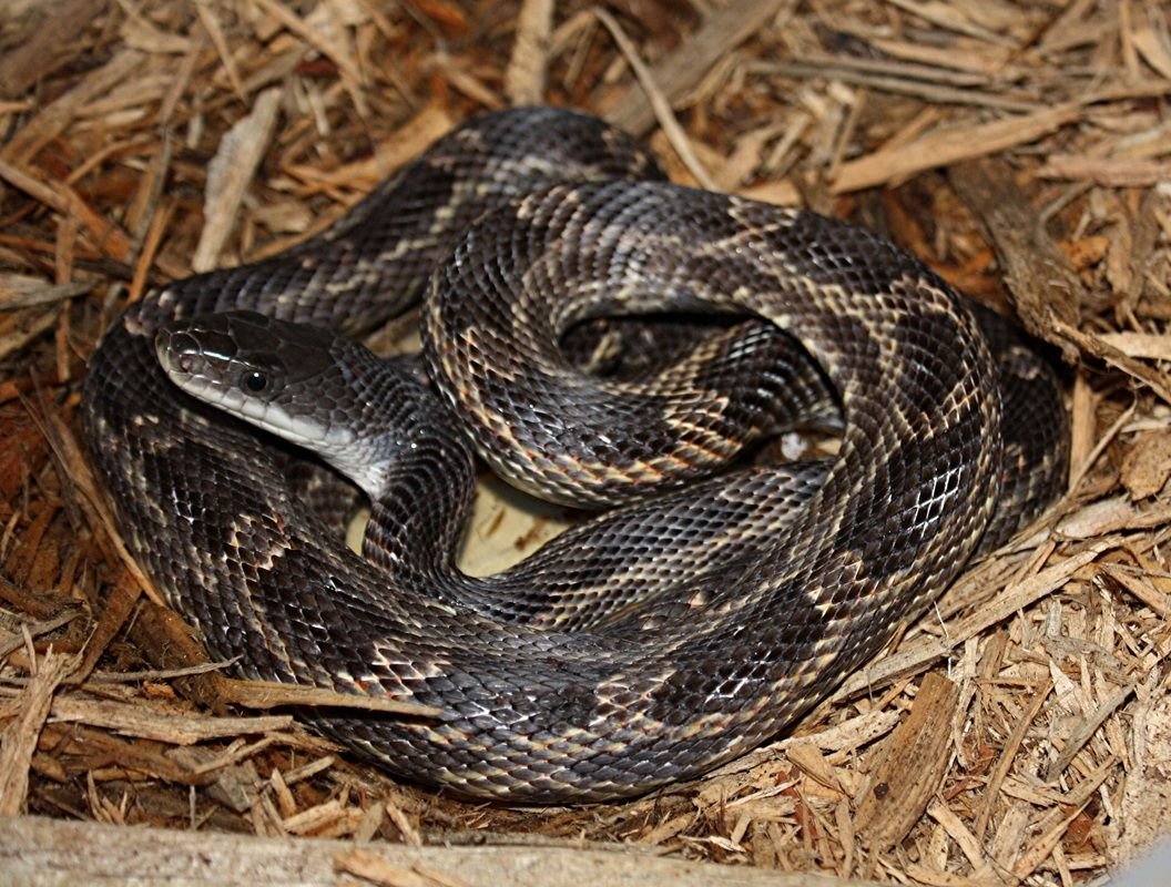 <p>Rat Snake (Photo courtesy South Texas Amphibian and Reptile Society)</p>