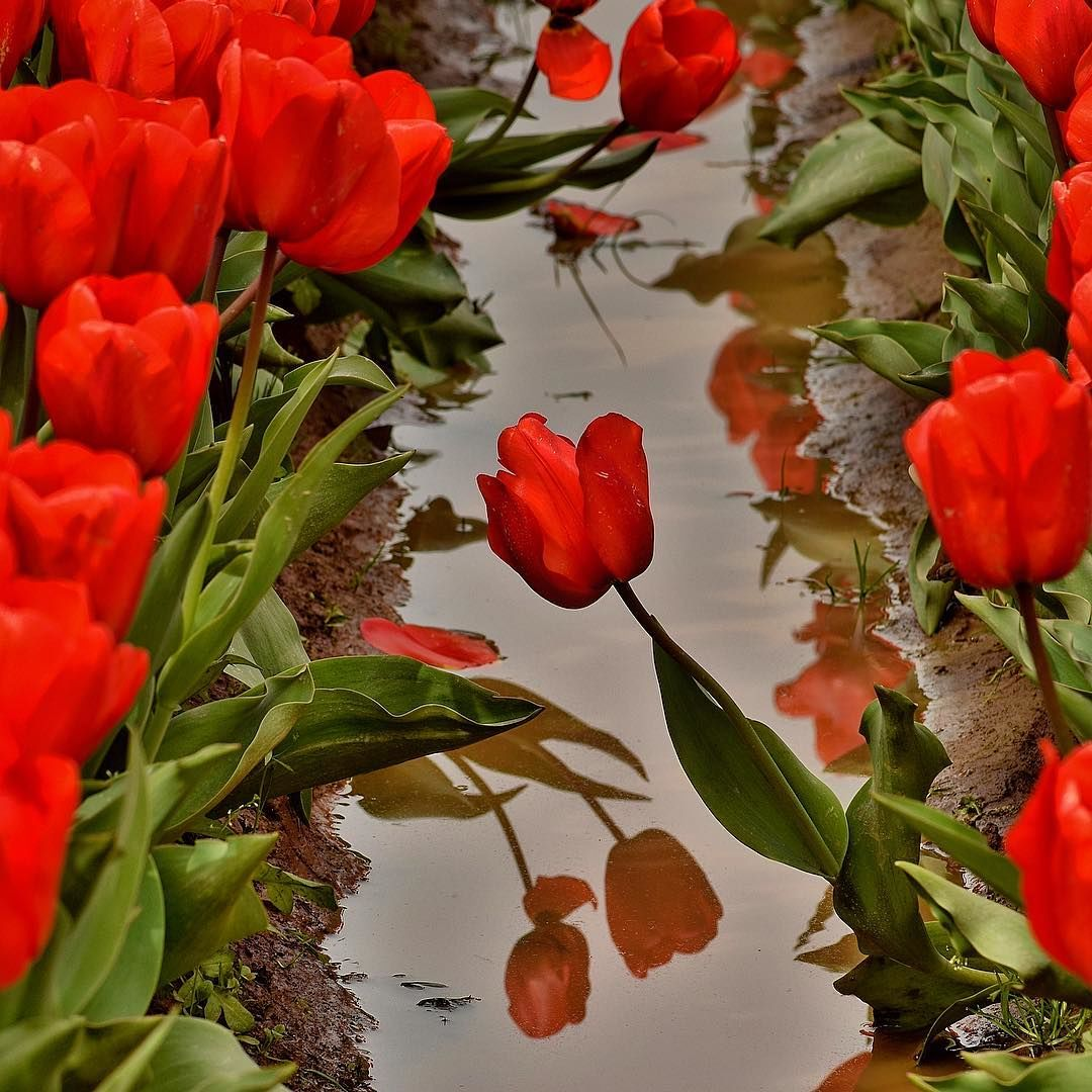 Wooden Shoe Tulip Festival (Photo by Mike Warner)