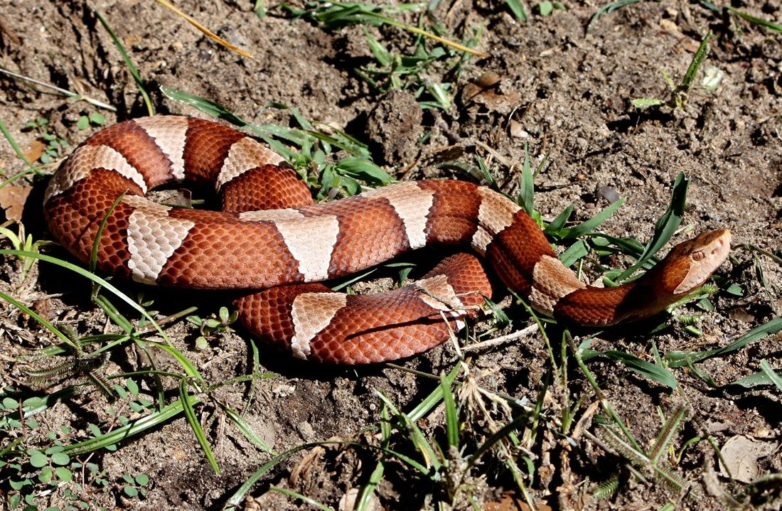 <p>Copperhead (Photo courtesy South Texas Amphibian and Reptile Society)</p>