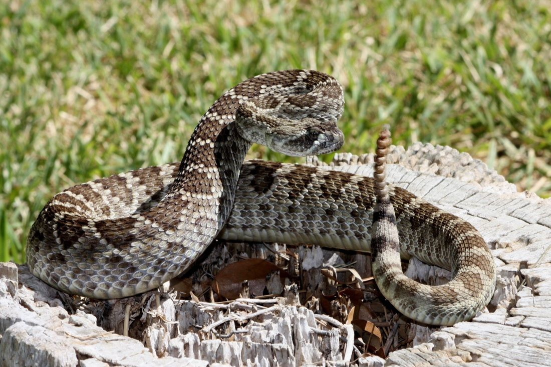 <p>Rattlesnake (Photo courtesy South Texas Amphibian and Reptile Society)</p>