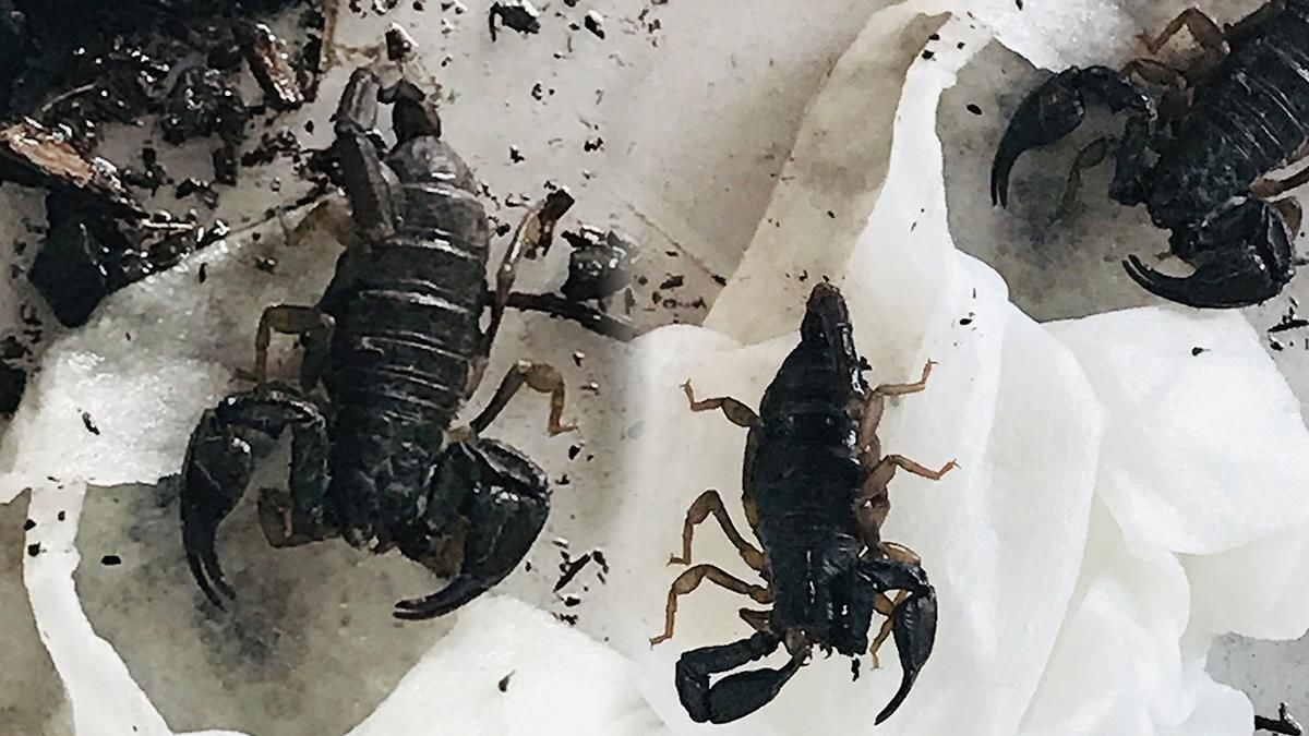 Pacific Northwest Forest scorpions found in container, brought to Keizer Fire District - Photo from Keizer Fire