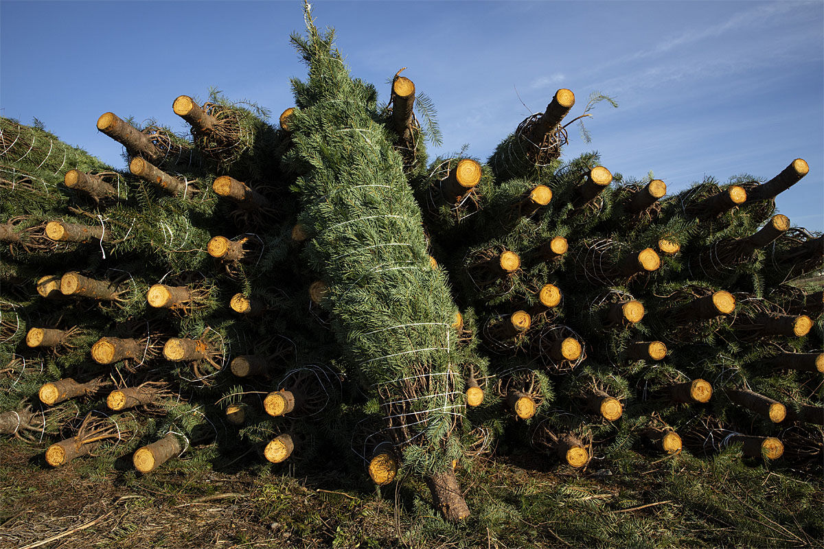 Freshly cut Christmas trees are bundled for shipment at McKenzie Farms on Saturday, Nov.  20, 2020 in Oregon City, Ore. (AP Photo/Paula Bronstein)