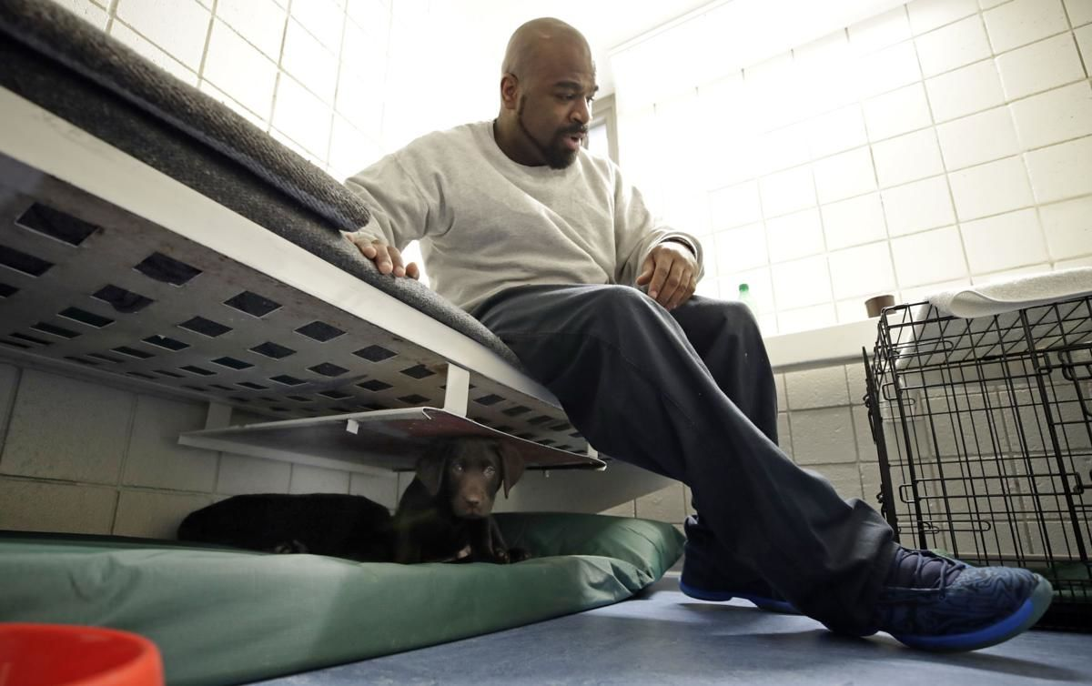"In this Jan. 8, 2019, photo, inmate Jonathan Ladson sits in his cell with a chocolate lab puppy under his bed at Merrimack County Jail in Boscawen, N.H. The New Hampshire jail is the first in the state to partner prisoners with the ""Hero Pups"" program to foster and train puppies with the goal of placing them with military veterans and first responders in need of support dogs. (AP Photo/Elise Amendola)"