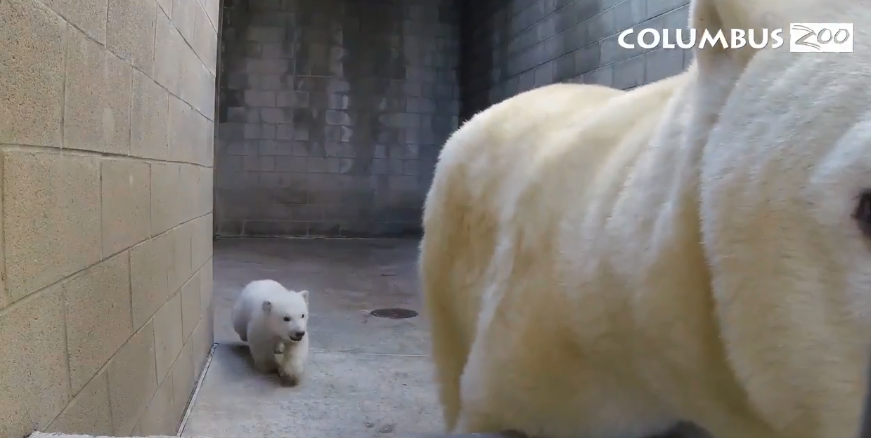 Columbus Zoo's 3-month-old polar bear cub left its den for the first time. (Columbus Zoo)