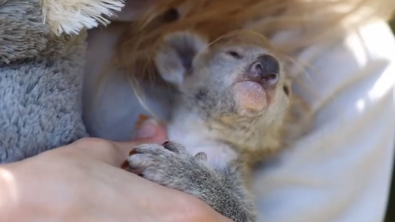 Meet Elsa, the baby koala warming hearts across the internet. Photos and video by Australian Reptile Park.{&nbsp;}<p></p>