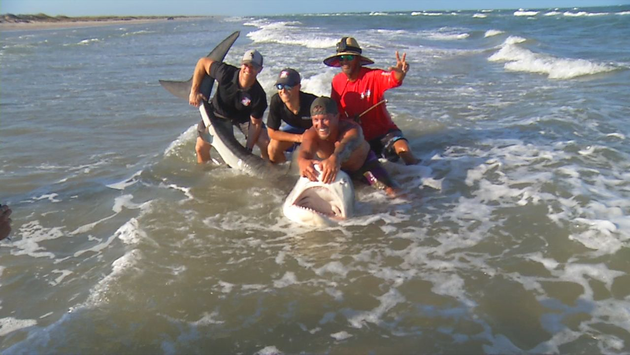 News crew tags along to catch and release large tiger shark from Texas beach