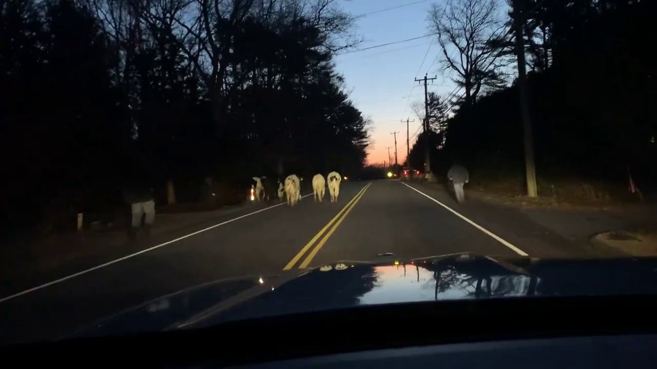 A still image from a video by Connecticut State Police shows cows on Route 184 in North Stonington, Friday, Feb. 21, 2020.{ }