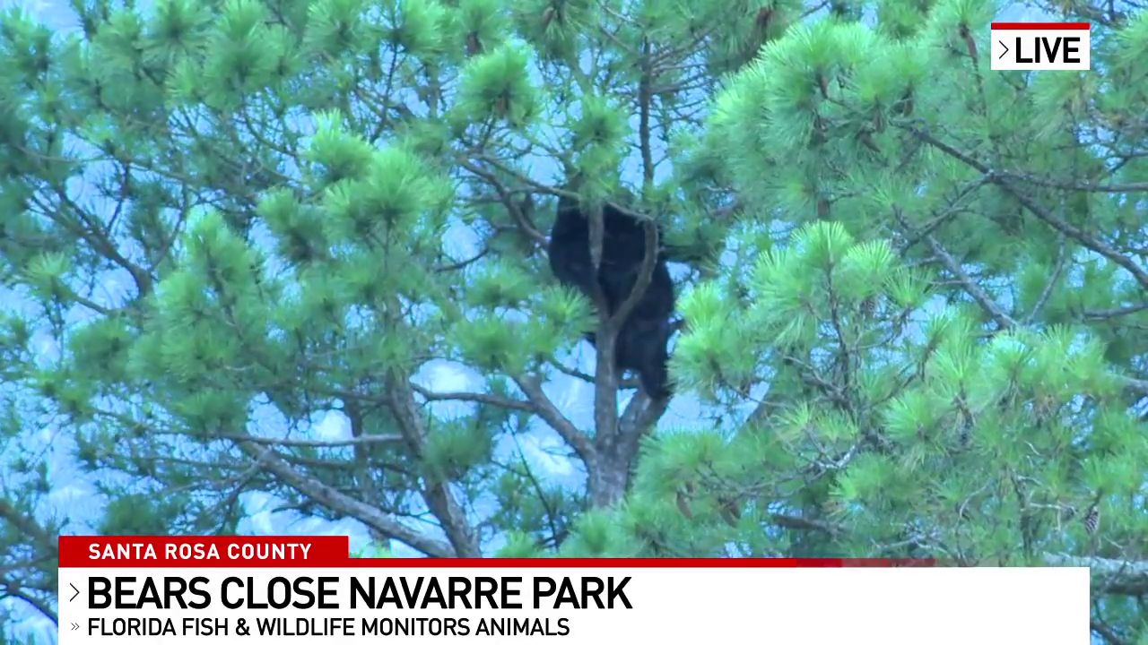 Bear pair scare at Navarre Park. (Source: WEAR-TV)
