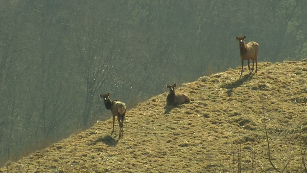 The elk herd is doing quite well in southern West Virginia. (WCHS/WVAH)