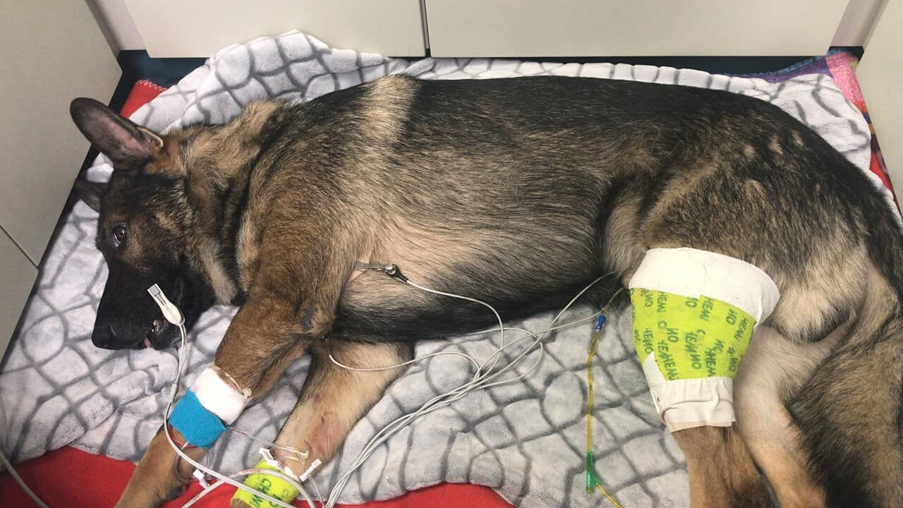 Thurston County Sheriff's Office police dog Arlo recovers after being shot twice during a police chase on Jan. 14, 2021. (Photo: Thurston County Sheriff's Office)