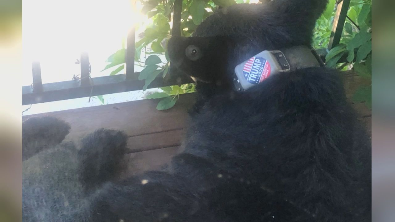 """Help Asheville Bears"" is offering a $5,000 reward for anyone who can find out who put a 'Trump 2020' sticker on this black bear's collar. (Photo credit: Sheila Chapman)"
