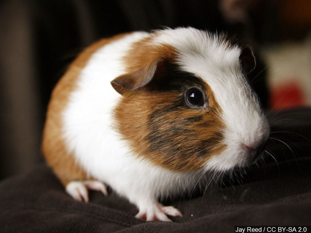 A pet show owner tried to stop two women from stealing guinea pigs when one of the suspects lobbed one of the animals at him during their escape. (Photo:{ }Jay Reed / CC BY-SA 2.0 via MGN)