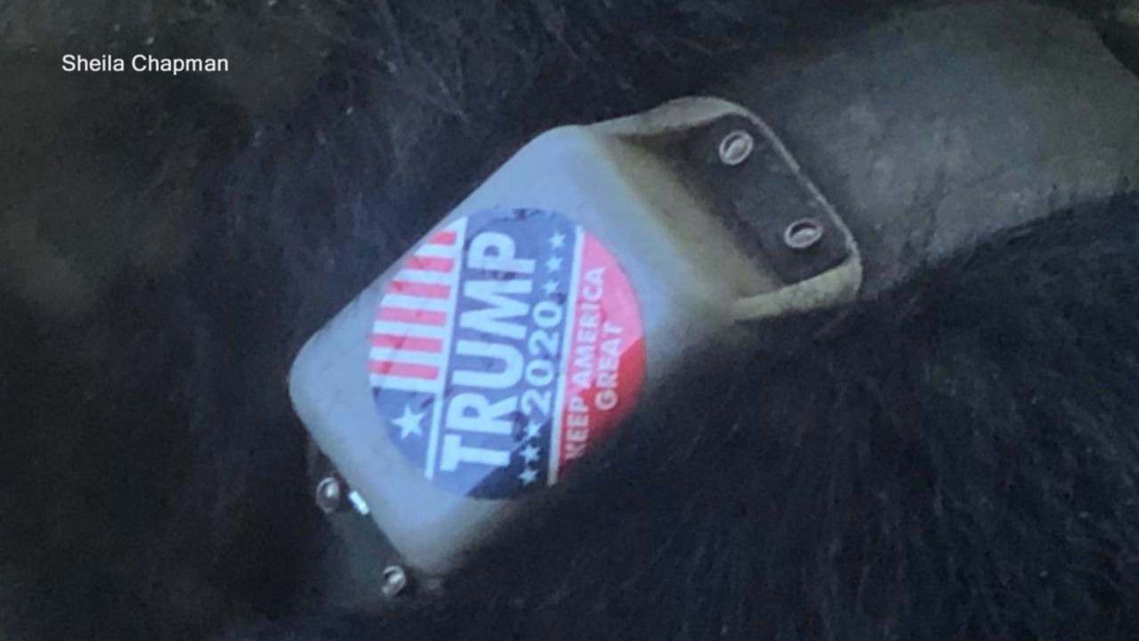 """Help Asheville Bears"" is offering a $5,000 reward for anyone who can find out who put a 'Trump 2020' sticker on this black bear's collar. (Photo credit:{ }Sheila Chapman)"