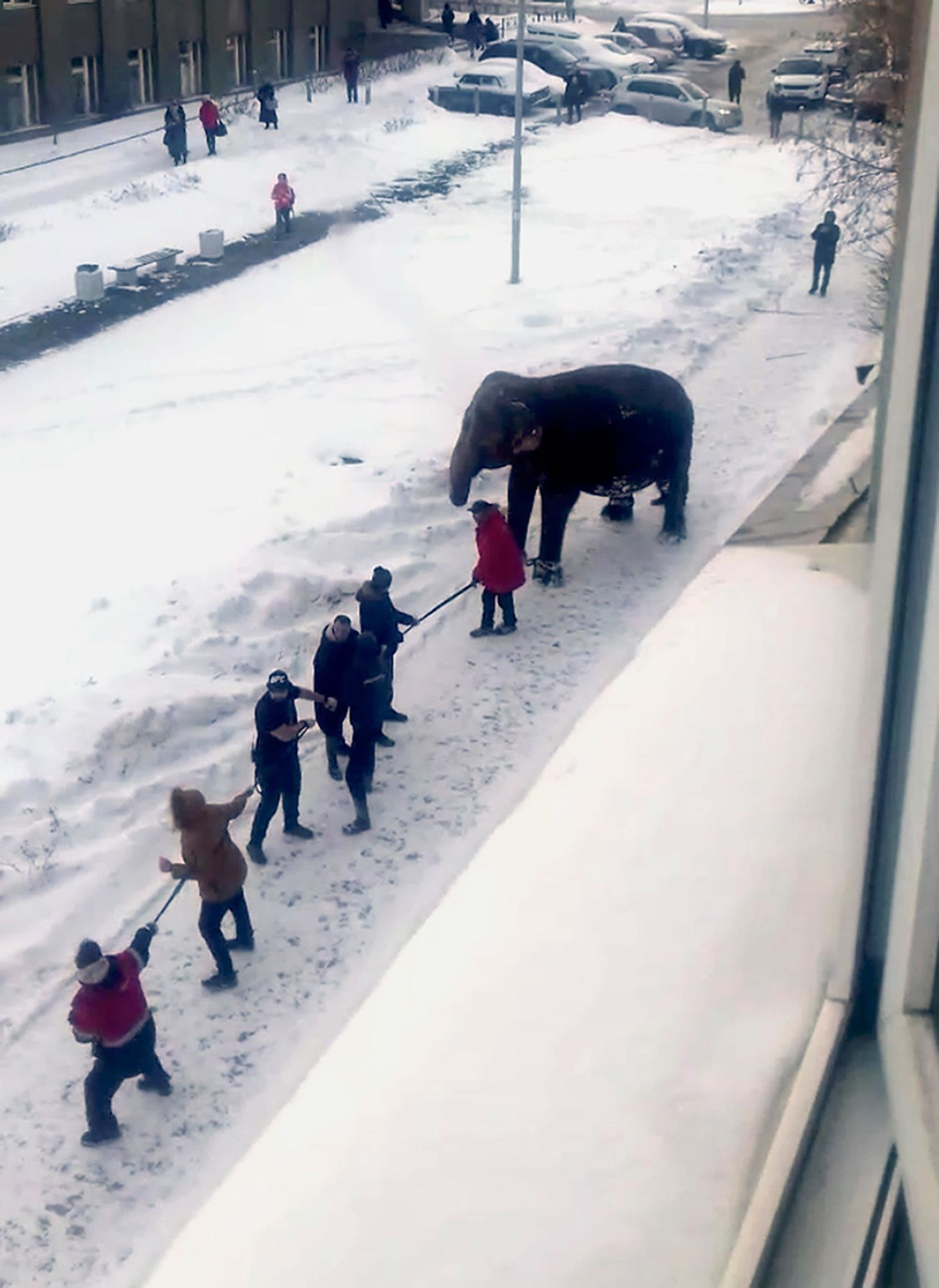 In this handout photo taken from a footage and released by Ksenia Tsybizova, Circus workers pull an elephant in Yekaterinburg, Russia, Friday, Jan. 24, 2020. Two elephants escaped from a local circus while its troupe tried to load then into a truck to head to the next destination.(Ksenia Tsybizova via AP)