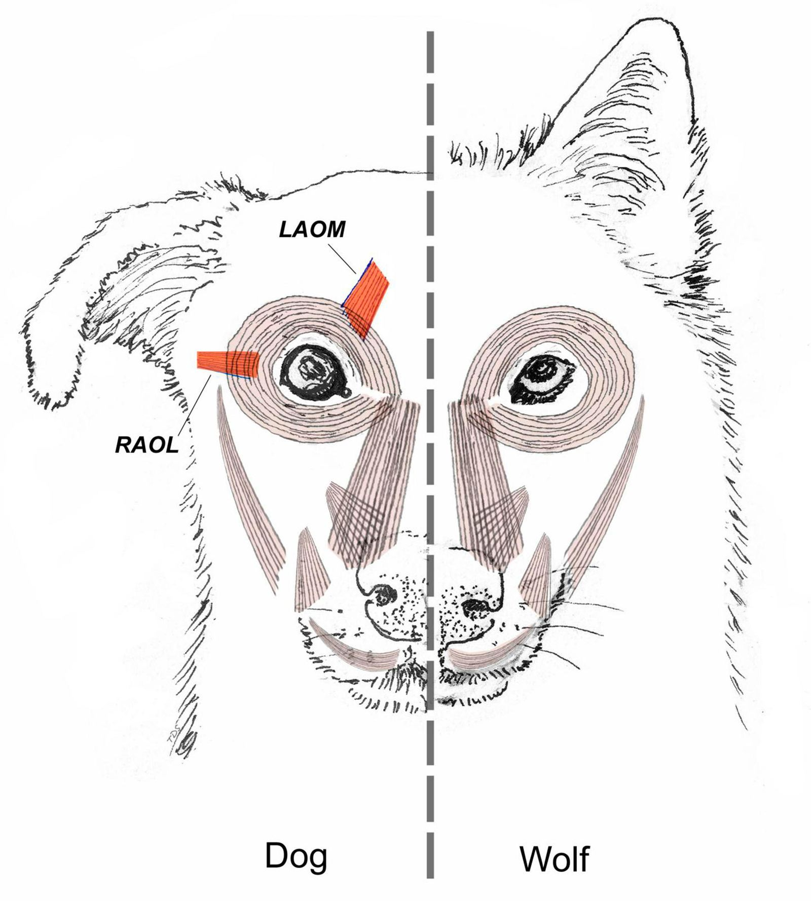 "This diagram provided by Tim Smith in June 2019 shows a comparison between dog and wolf facial muscles. A study released on Monday, June 17, 2019 suggests that over thousands of years of dog domestication, people preferred dogs that could pull off the ""puppy dog"" eyes look. And that encouraged the evolution of the facial muscle behind it, researchers propose. (Tim Smith via AP)"