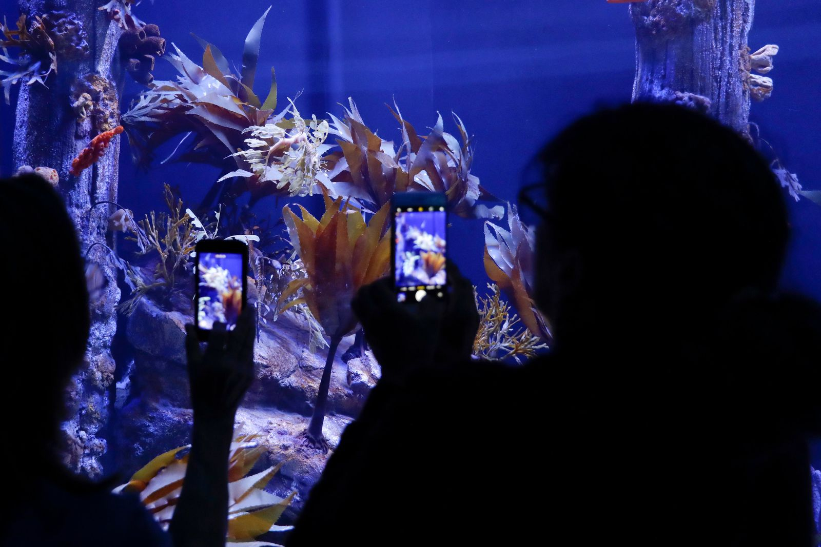 In this Friday, May 17, 2019 photo, visitors record images of sea dragons at the Birch Aquarium at the Scripps Institution of Oceanography at the University of California San Diego in San Diego. . (AP Photo/Gregory Bull)