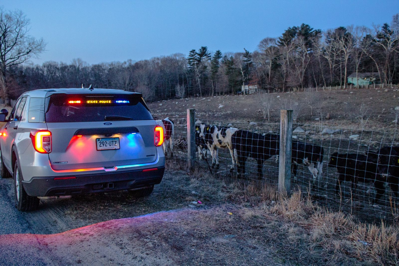 Connecticut State Police said some cows found along Route 184 in North Stonington were safely escorted back to their pasture. (Connecticut State Police photo)