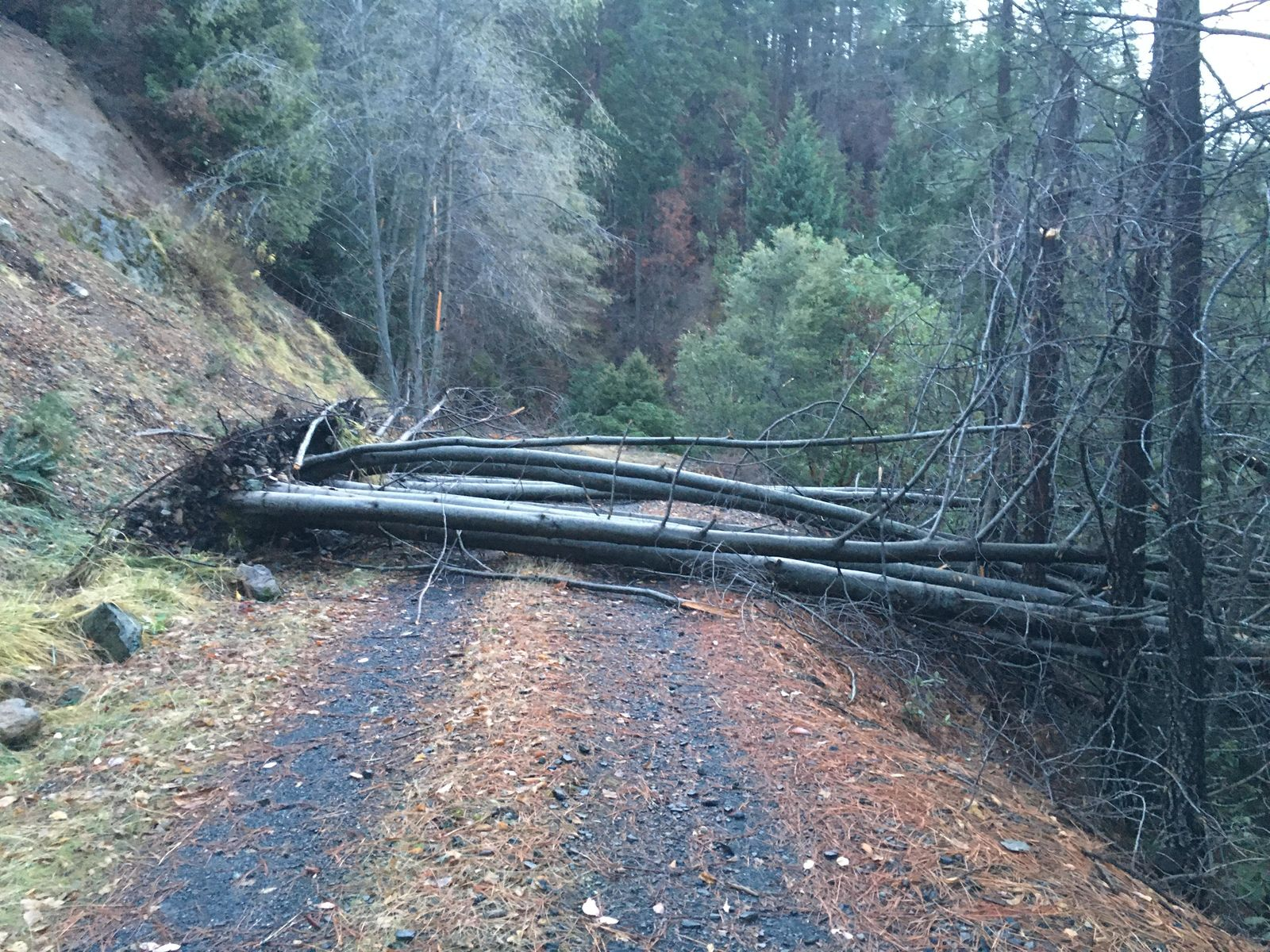 A bundle of trees blocked the road at the location of where Russell Wilcox's remains were found. Tracks from his truck indicate he went over a 300 foot embankment trying to turn around, according to the Josephine County Sheriff's Office. (Courtesy: Josephine County Sheriff's Office) <p></p>