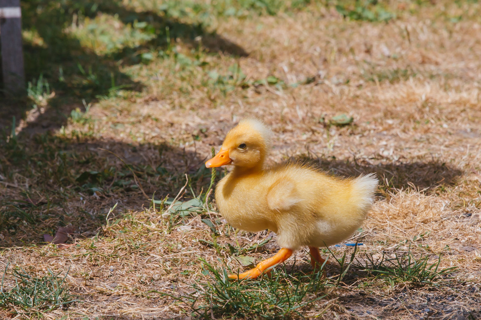 "Duckie was born on a farm in Port Angeles but currently venturing Capitol Hill with his pops! The two-week-old Bali Duck loves being warm, swimming, blackberries and people, but isn't a huge fan of being tickled — seriously, don't do it.{&nbsp;}<a  href=""http://seattlerefined.com/ruffined"" target=""_blank"" title=""http://seattlerefined.com/ruffined"">The RUFFined Spotlight</a>{&nbsp;}is a weekly profile of local pets living and loving life in the PNW. If you or someone you know has a pet you'd like featured, email us at{&nbsp;}<a  href=""mailto:hello@seattlerefined.com"" target=""_blank"" title=""mailto:hello@seattlerefined.com"">hello@seattlerefined.com</a>{&nbsp;}and your furbaby could be the next spotlighted! (Image: Sunita Martini / Seattle Refined)"