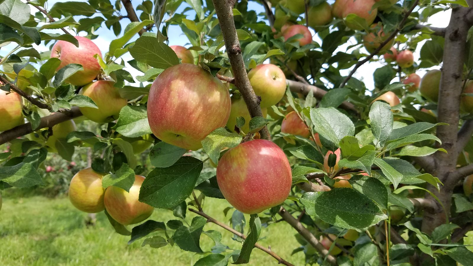 Macoun apples growing at Randall Orchards. (WGME)