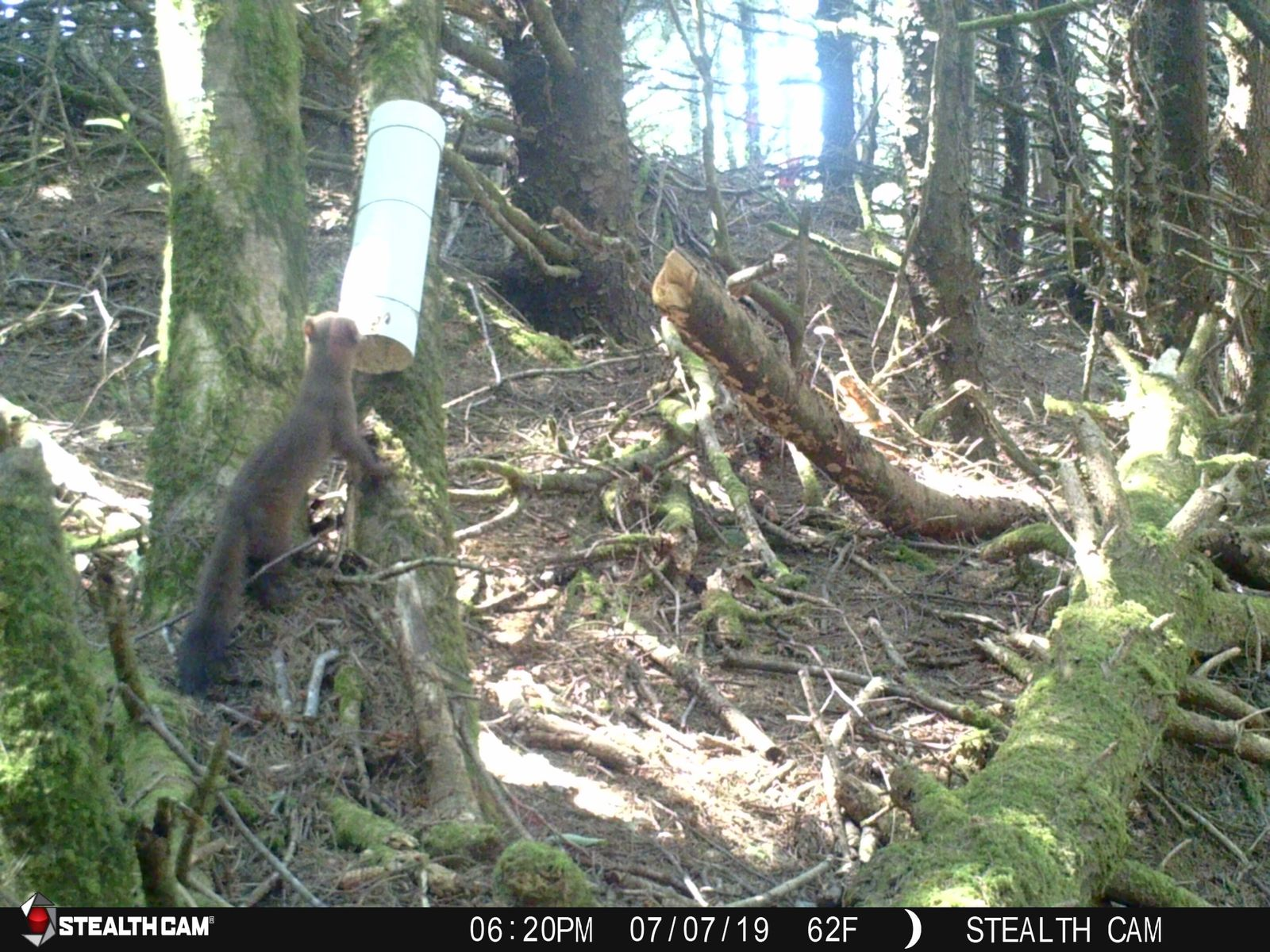 Marten in southern Oregon coast inspects a hair trap put out by the Oregon Department of Fish and Wildlife. Courtesy ODF&W.{ }