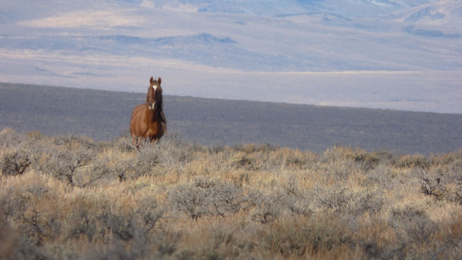 In early November of 2015, the BLM aimed to gather wild horses from the Beaty Butte Management Area. The remote southern Oregon location is 65 miles east of Lakeview and adjacent to the Hart Mountain National Wildlife Refuge.   The Beaty Butte herd is estimated to have 1,200 wild horses, six times the designated management level. The goal of this gather is to maintain the natural ecological balance of the range.   On Day 4 of the gather, Nov. 7, 149 horses were gathered and 27 were transported to the BLM holding facility.  Photos: Larisa Bogardus, BLM