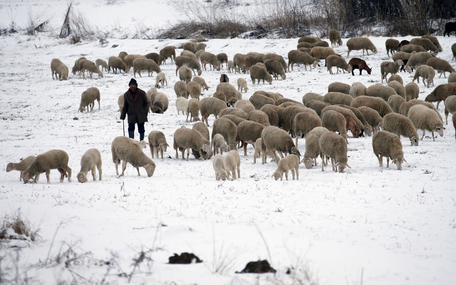 A shepherd leads a herd of sheep over snow-covered meadows near the village Beska, 30 kilometres north of Belgrade, Serbia, Friday, Jan. 11. (AP Photo/Darko Vojinovic)