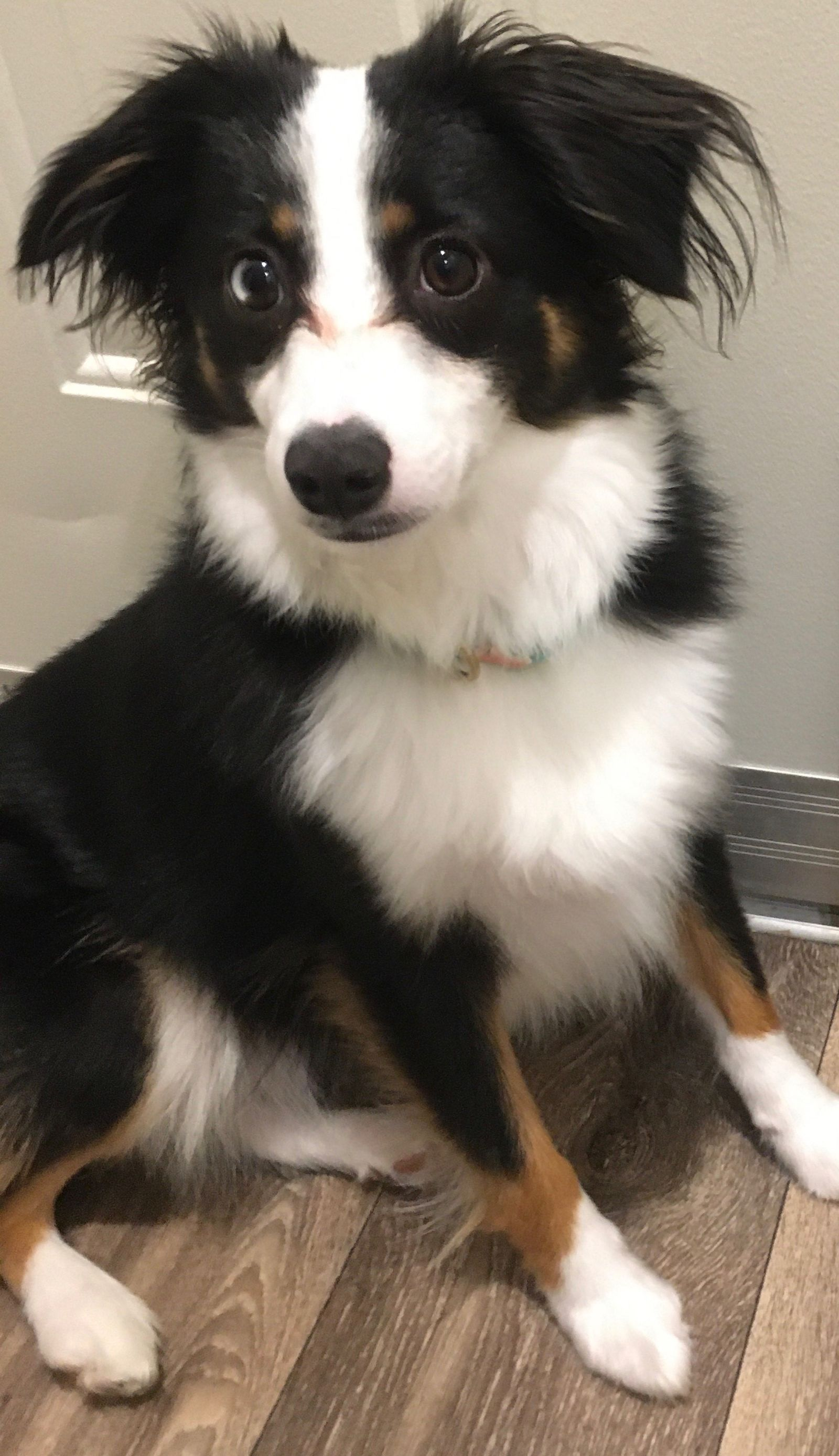 Reporter Sam Knef has a 1-year-old mini Australian Shepherd named Lucy. (WWMT)