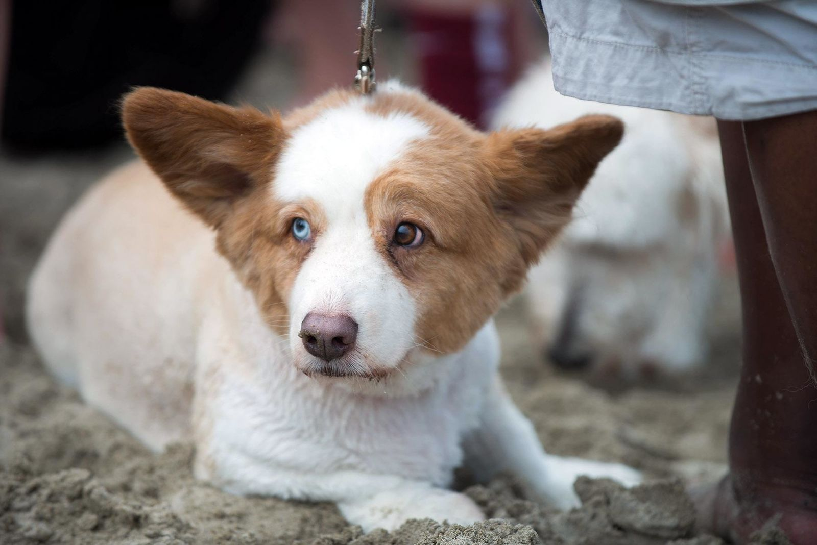 Hundreds of corgis converged on Cannon Beach Saturday for the annual Corgi Beach Day! The massive corgi gathering features costume contests, dog races, and other fun - all benefiting the Oregon Humane Society! (Photo by Tristan Fortsch on July 27, 2019)