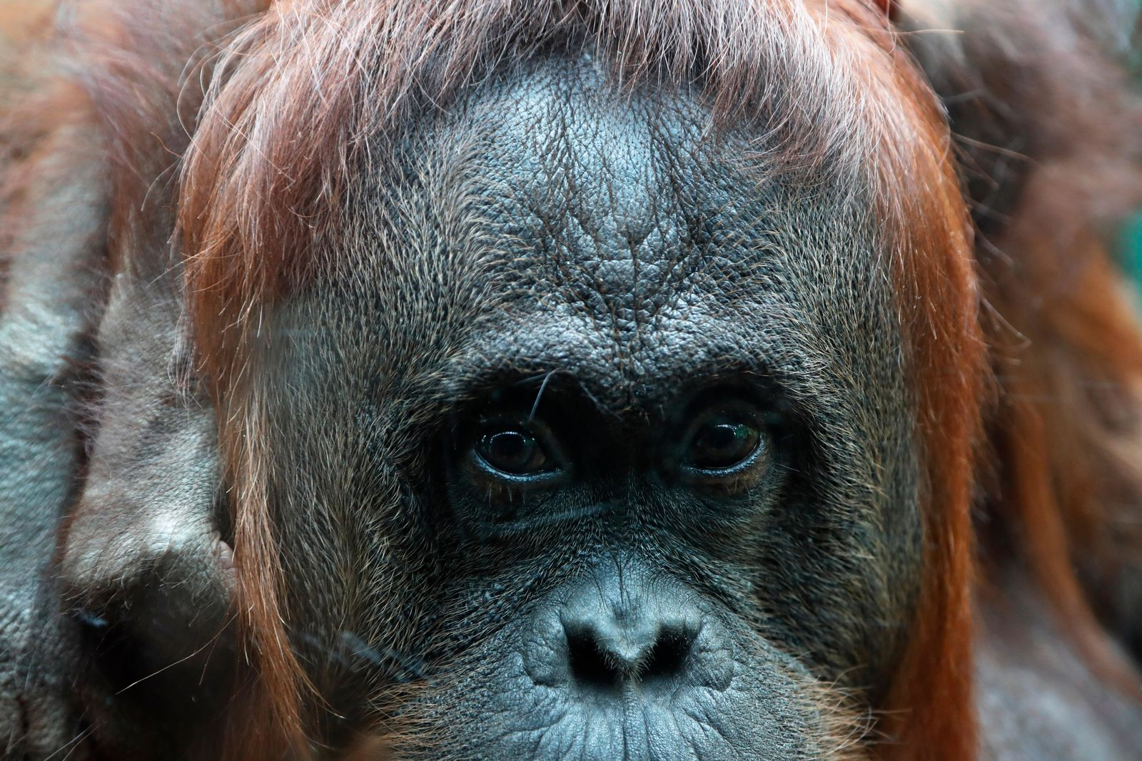 Orangutan Theodora looks at visitors, at the Jardin des Plantes zoo, in Paris, Sunday, June 16, 2019. (AP Photo/Thibault Camus)
