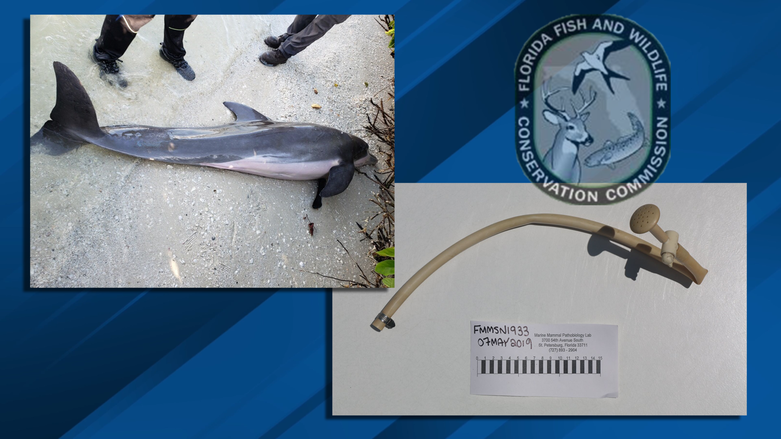 FWC biologists say a 24-inch hose was found inside of a dead male dolphin. (FWC)