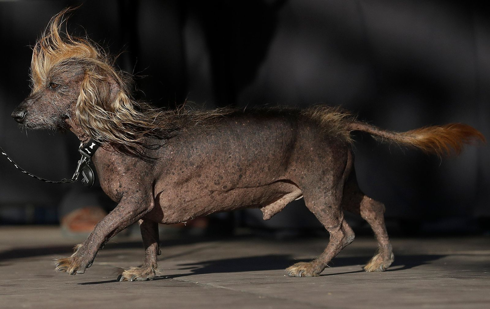 Himisaboo, Chinese Crested and Dachshund mix, walks onstage during the World's Ugliest Dog Contest at the Sonoma-Marin Fair in Petaluma, Calif., Saturday, June 23, 2018. (AP Photo/Jeff Chiu)