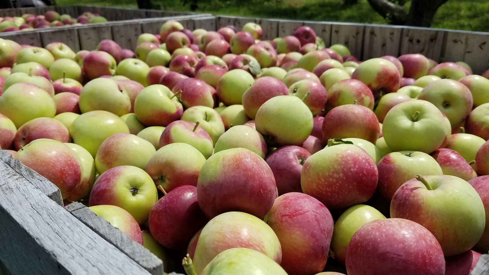 Paula Red apples at Randall Orchards. (WGME)<p></p>