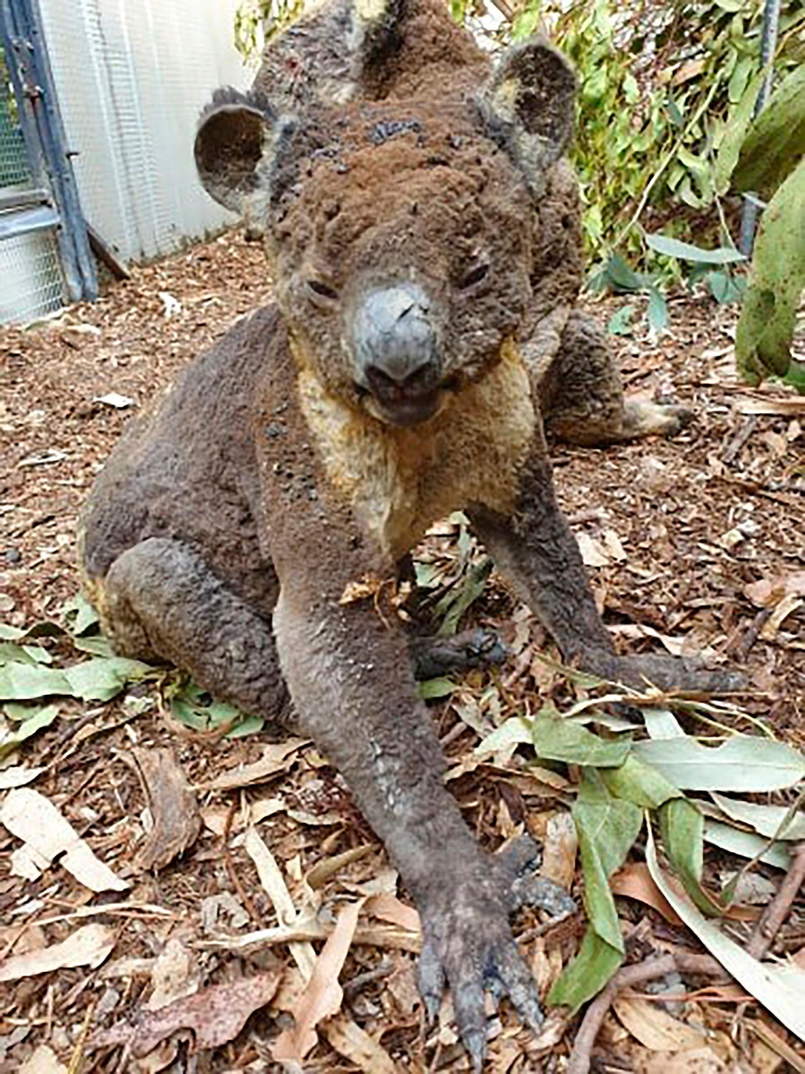 This photo taken in early January, 2020, and provided Sunday, Jan. 5, 2020, by Dana Mitchell from the Kangaroo Island Wildlife Park shows a rescued koala injured in a bushfire in Kangaroo Island, South Australia. Devastating wildfires over recent days have undone decades of careful conservation work on Kangaroo Island and have threatened to wipe out some of the island's unique fauna altogether. (Dana Mitchell/Kangaroo Island Wildlife Park via AP)