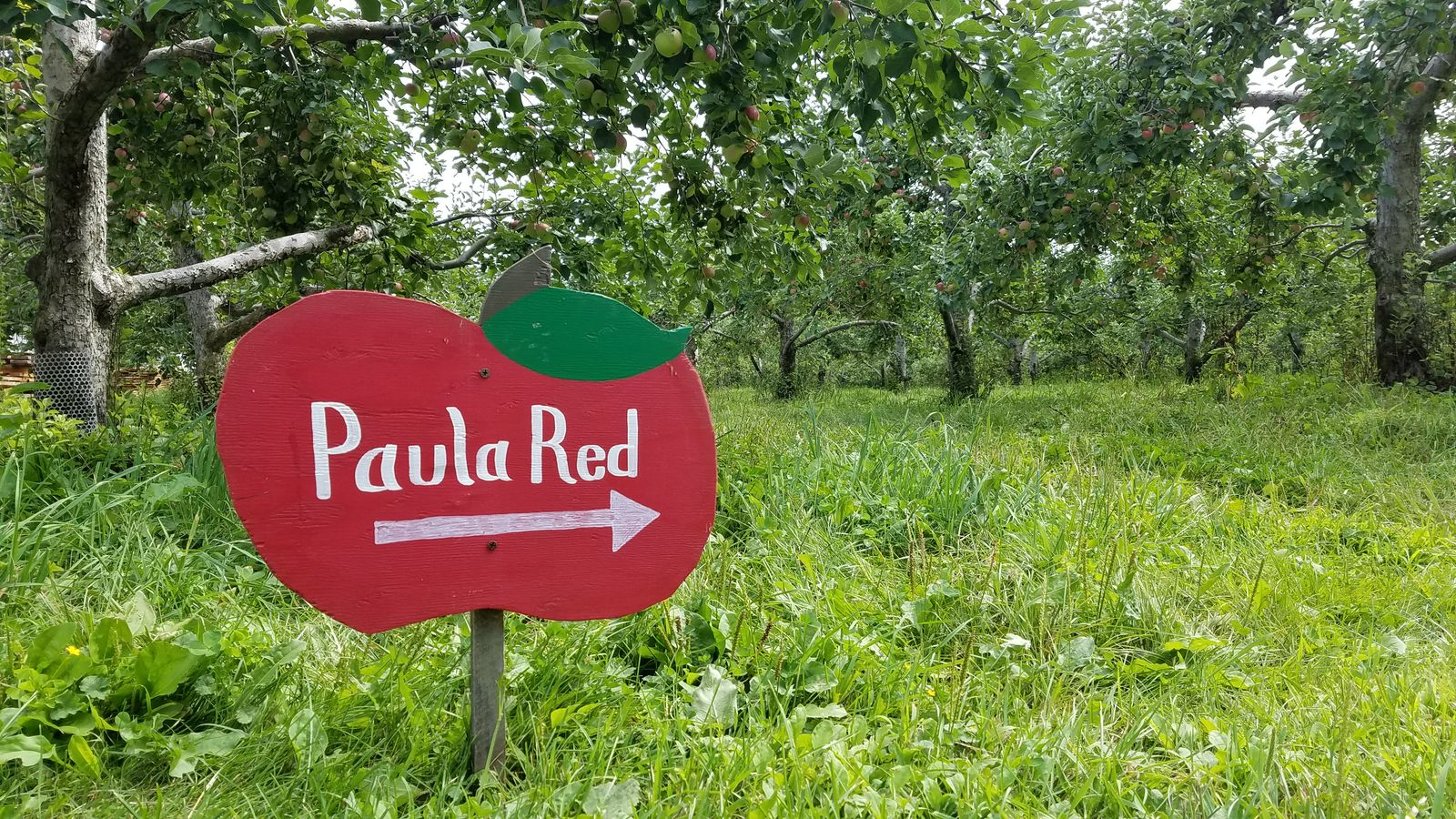 The rows of trees are labeled at Randall Orchards. Paula Red is an early picking variety. (WGME)