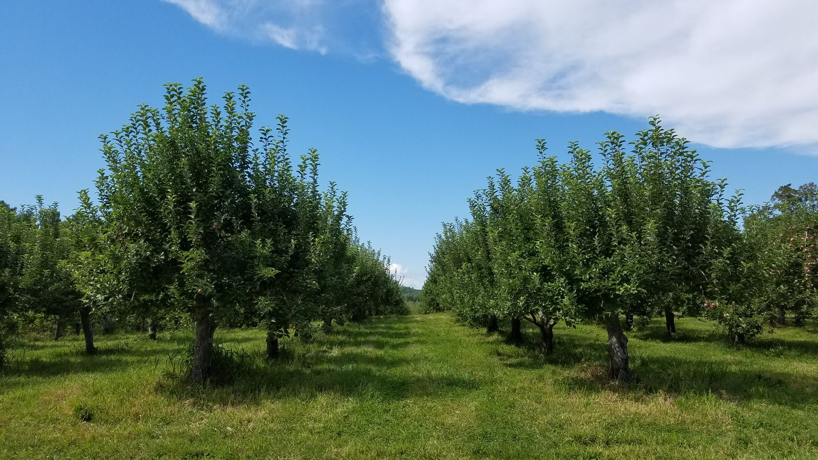 Rows of apple trees at Randall Orchards. (WGME)