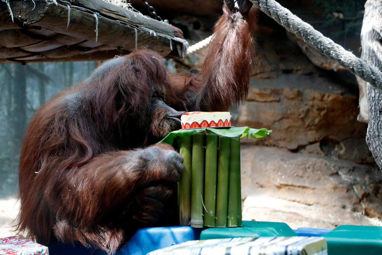 Orangutan Nenette eats a cake as she celebrates her 50th birthday, at the Jardin des Plantes zoo, in Paris, Sunday, June 16, 2019. (AP Photo/Thibault Camus)