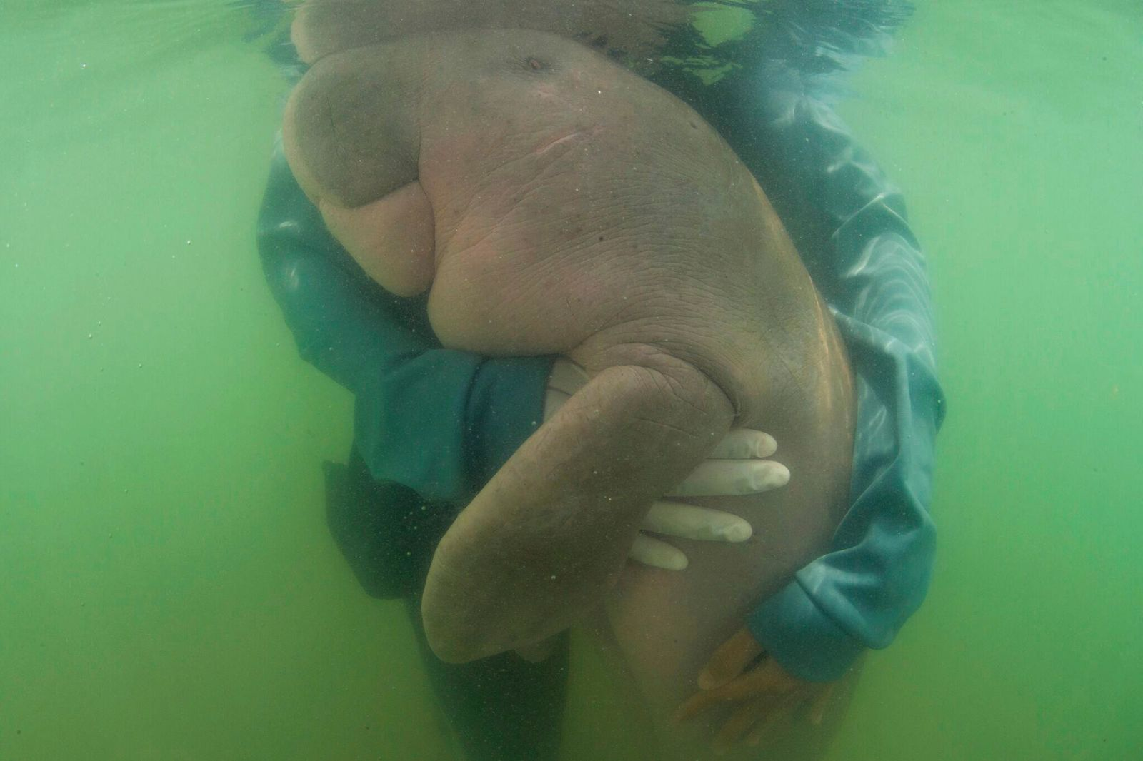 FILE - In this May 23, 2019, photo, an official of the Department of Marine and Coastal Resources, hugs Marium, baby dugong lost from her mom Libong island, Trang province southern Thailand. The 8-month-old dugong nurtured by marine experts after it was found near a beach in southern Thailand has died of what biologists believe was a combination of shock and ingesting plastic waste. The female dugong - a large ocean mammal - became a hit in Thailand after images of biologists embracing and feeding her with milk and sea grass spread across social media. Last week, she was found bruised after being chased and supposedly attacked by a male dugong during the mating season. (Sirachai Arunrugstichai via AP, File)