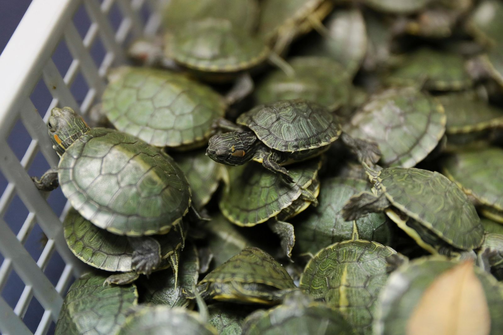 Customs officials display seized turtles at the customs office Wednesday, June 26, 2019, in Sepang, Malaysia. (AP Photo/Vincent Thian)